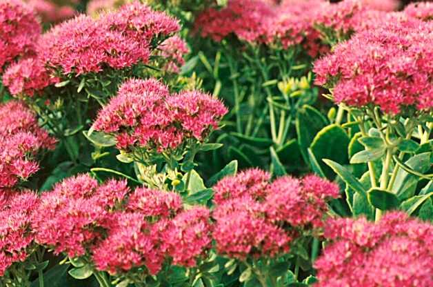 Top 10 low maintenance perennials budget birds blooms for Low maintenance perennials for shade