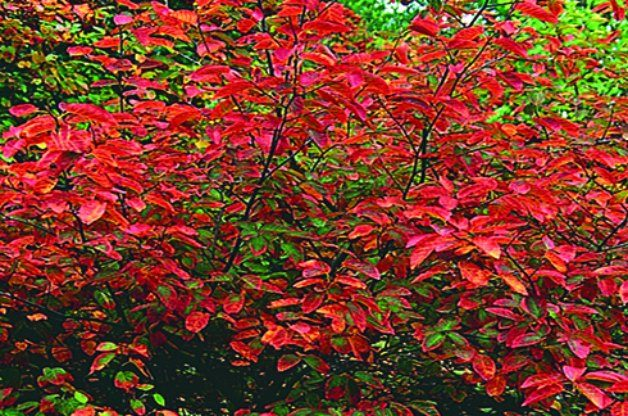 Top 10 Shrubs for Shade: Serviceberry