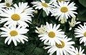 Top 10 Flowers for a Cutting Garden: Shasta daisy