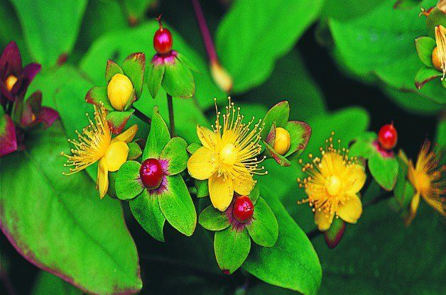 Top 10 Shrubs for Shade: Shrubby St. Johnswort