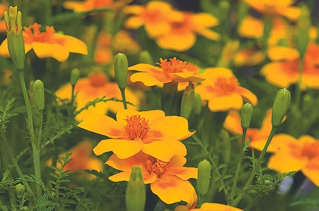 Top 10 Edible Flowering Plants: Signet marigold