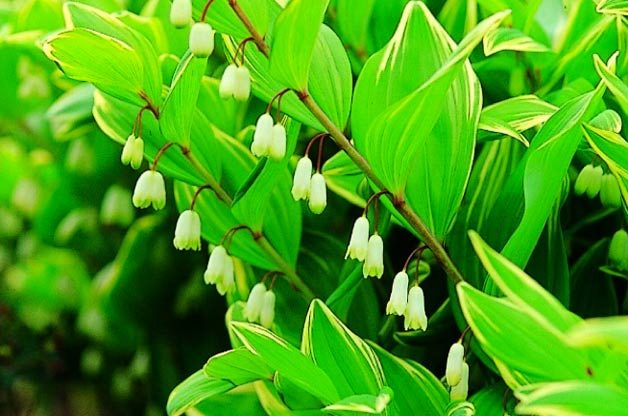 Top 10 Container Foliage Plants: Solomon's seal