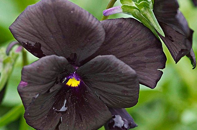Top 10 Black Plants: Sorbet Black Delight viola