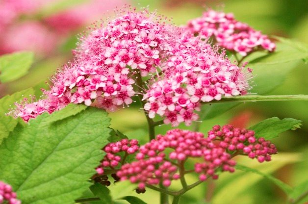 Top 10 Summer-blooming Shrubs: Spirea