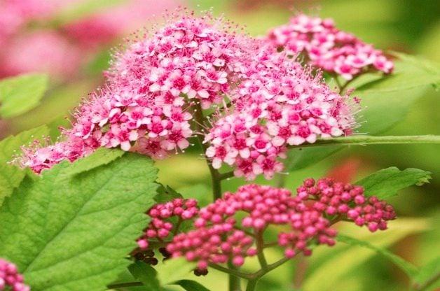 Top 10 Summer-blooming Shrubs: Spirea