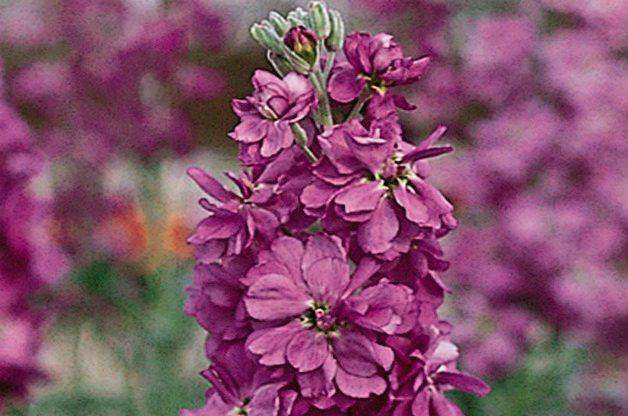 Top 10 Flowers for a Cutting Garden: Stock
