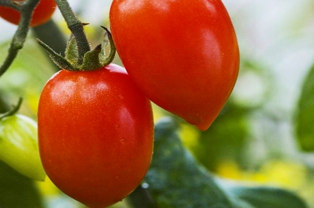 Top 10 Best Tomatoes to Grow: Sugary
