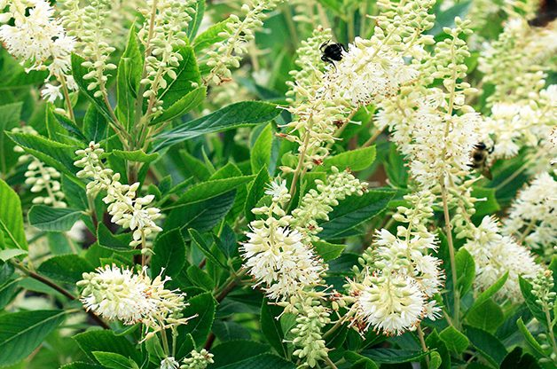 Top 10 Summer-blooming Shrubs: Summersweet