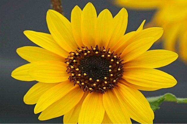 Top 10 Flowers for a Cutting Garden: Sunflower