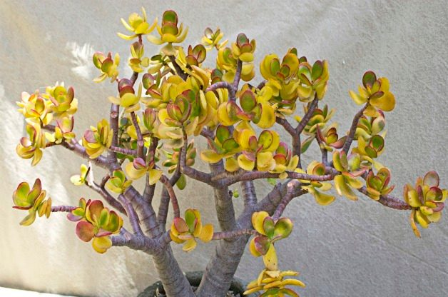 Top 10 Colorful Succulent Plants: Sunset jade