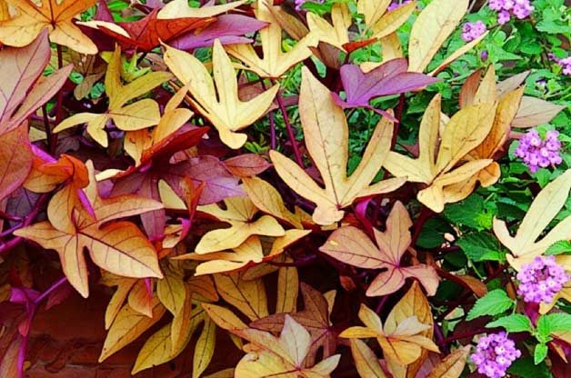 Top 10 Container Foliage Plants: Sweet potato vine