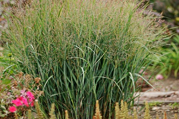Top 10 Seed Bearing Plants: Switchgrass