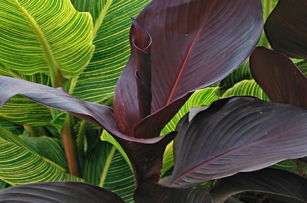 Top 10 Black Plants: Tropicanna Black canna
