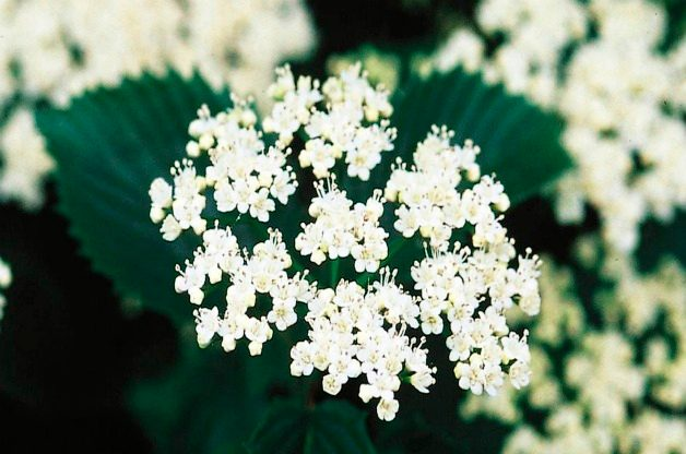 Top 10 Summer-blooming Shrubs: Viburnum