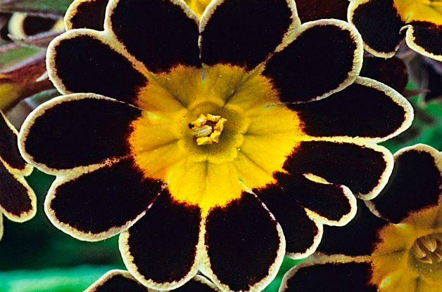 Top 10 Black Plants: Victoriana Silver Lace Black primrose