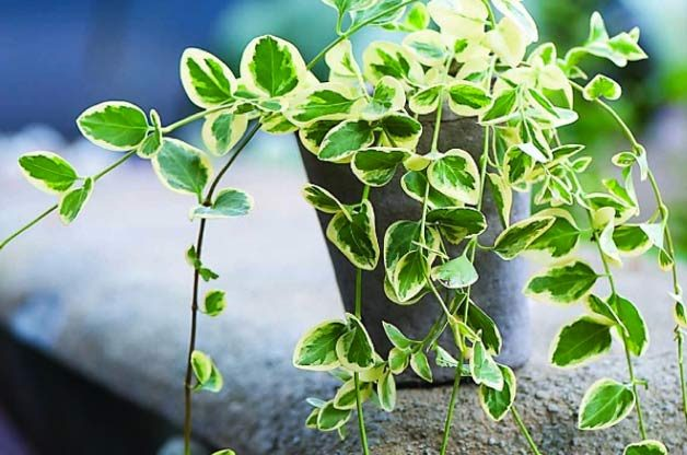 Top 10 Container Foliage Plants: Vinca