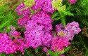 Yarrow: Low Maintenance Perennial