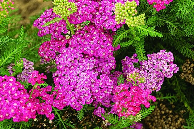 Yarrow: Low Maintenance Perennial