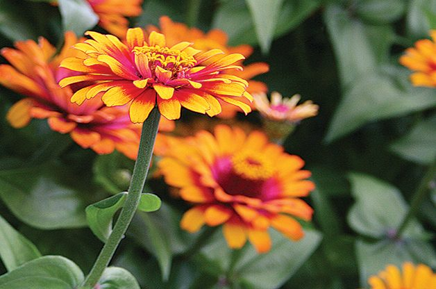 Top 10 Plants You Can't Kill: Zinnia