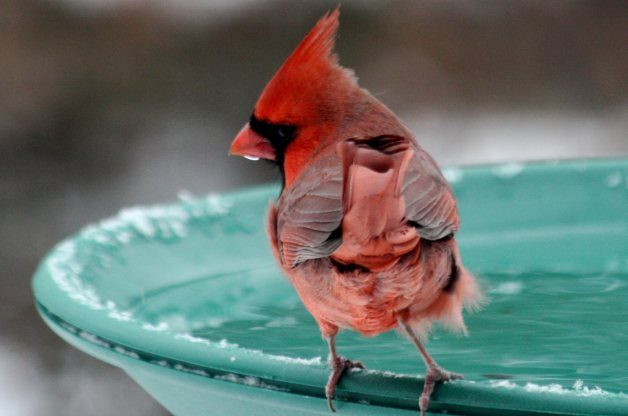 Cardinal at Winter Bird Bath