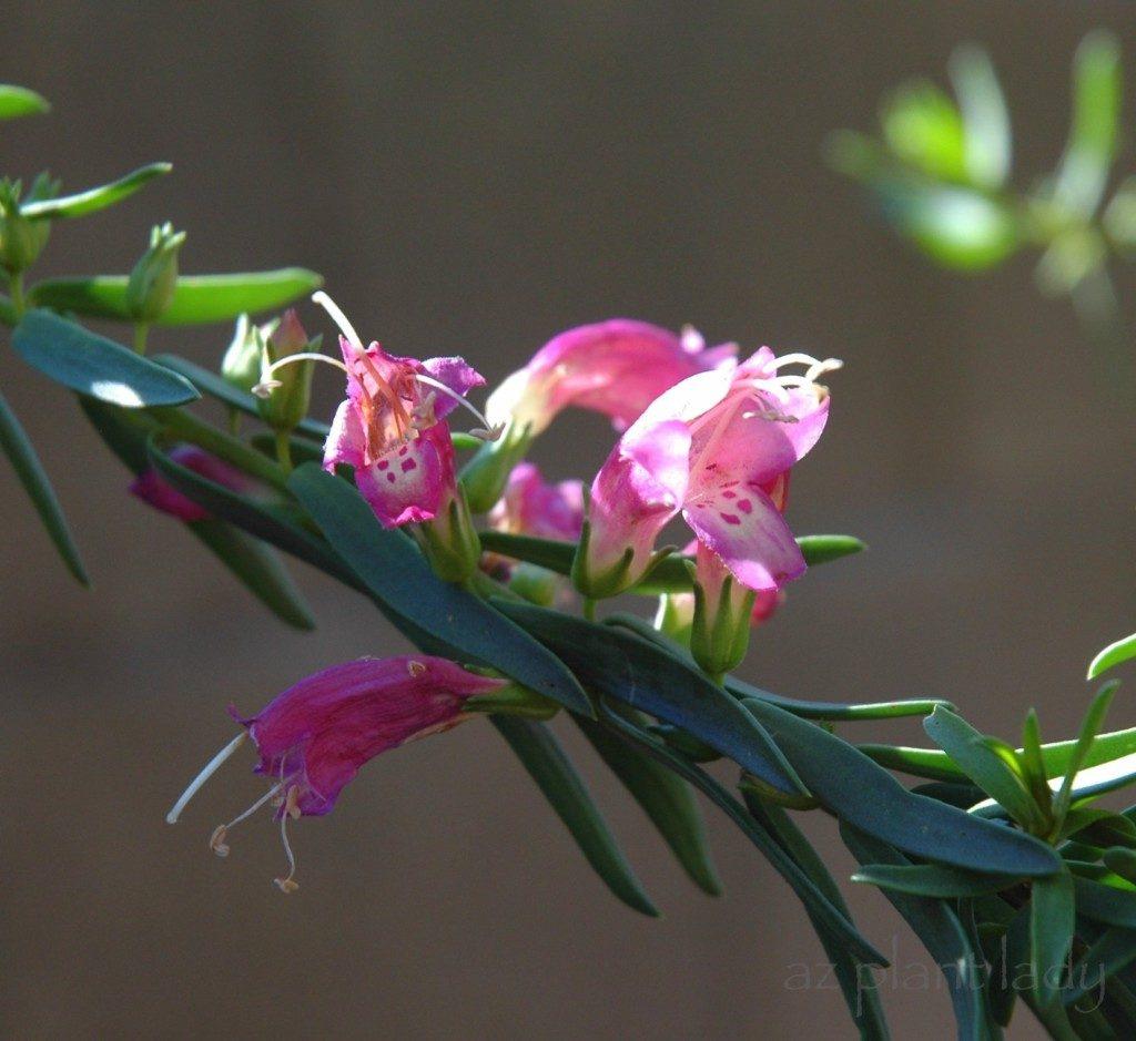 PInk Beauty Eremophila
