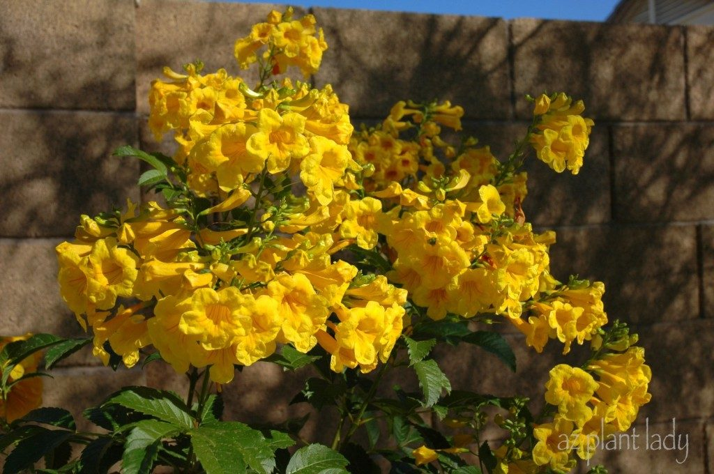 Transform a bare wallfence with flowering shrubs birds and blooms this large shrub grows quickly and is covered in masses of yellow tubular flowers that hummingbirds cannot resist mightylinksfo