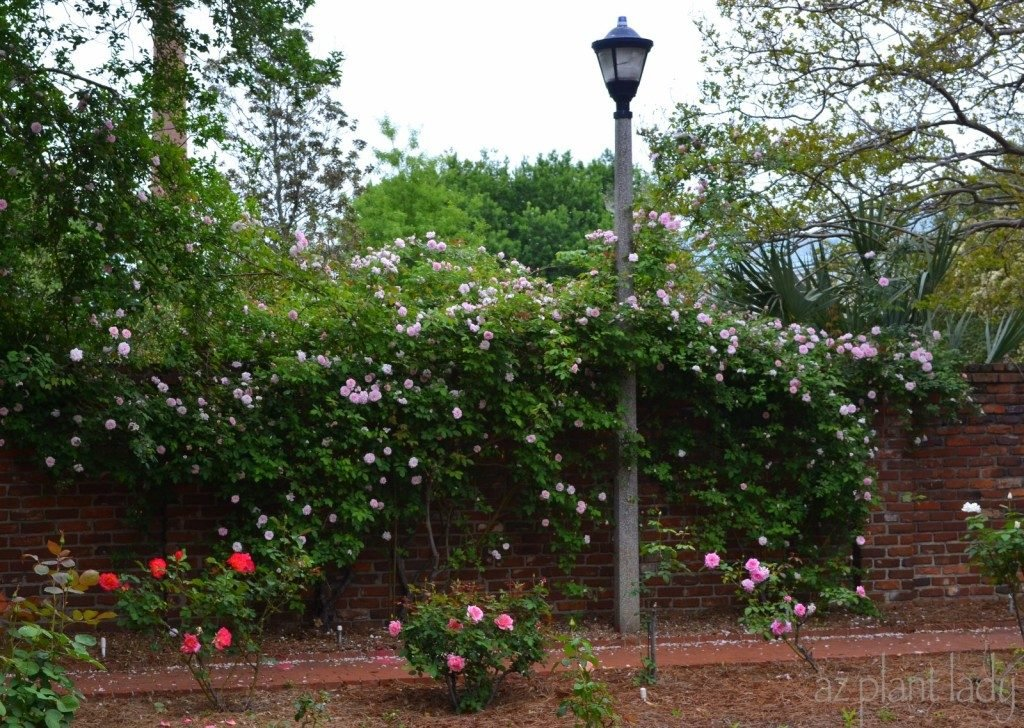 Rose-covered Wall