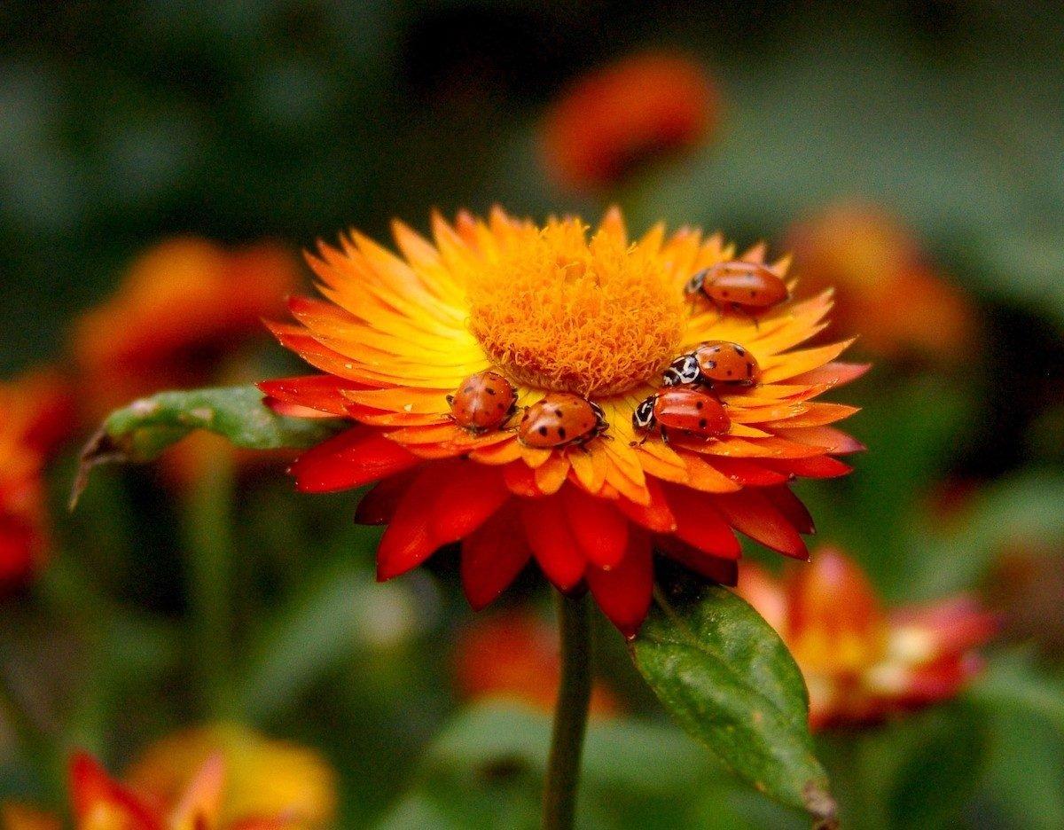 ladybugs on flower