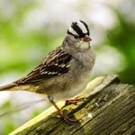 All About Sparrows: What Birders Should Know