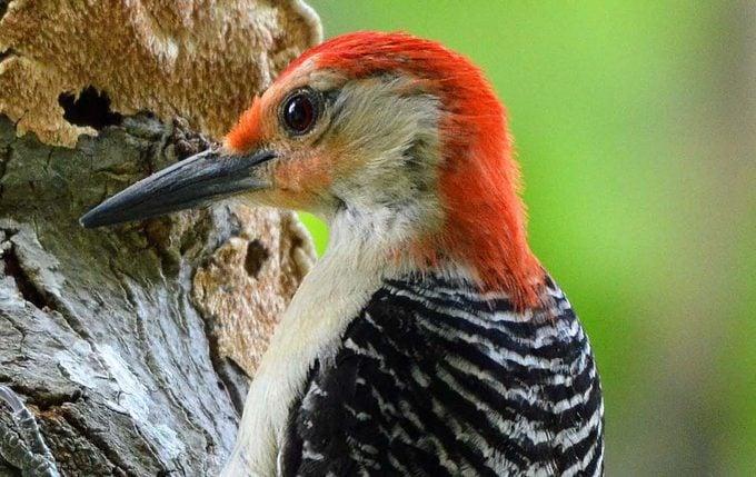 red bellied woodpecker Lynn Erderly 001