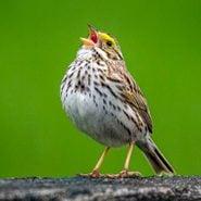 Why Do Birds Sing in Spring?