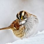 How to Identify a White Throated Sparrow