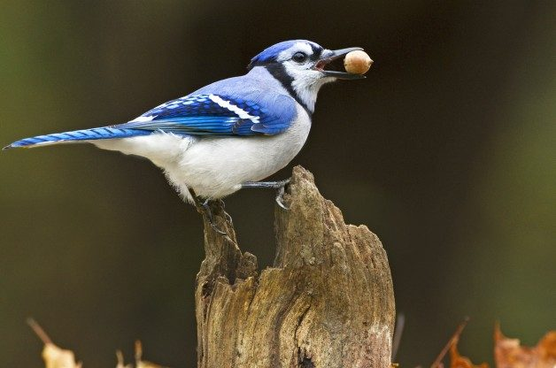 Bird Behavior, caching seeds
