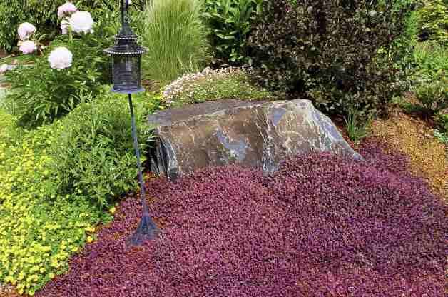 Purple New Zealand Burr