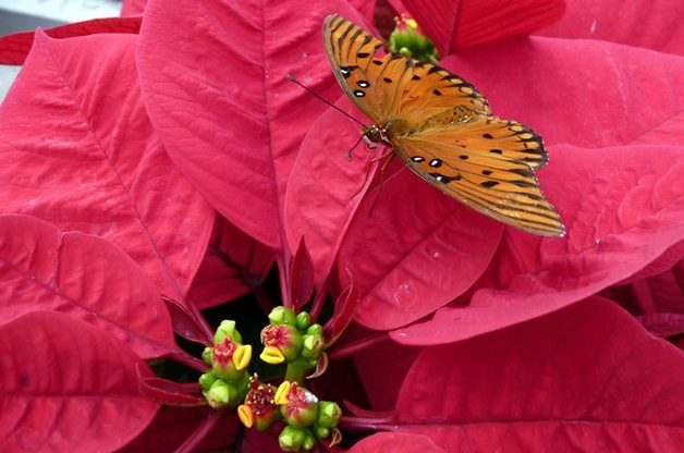 Holiday Plant Gifts Poinsettia