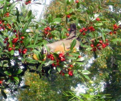 Robin Eating Holly