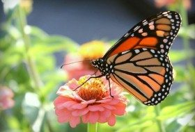 Diary of Monarch Migration