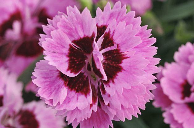 Everlast Dianthus