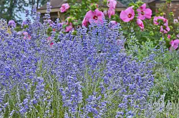 Peek-a-Blue Russian Sage