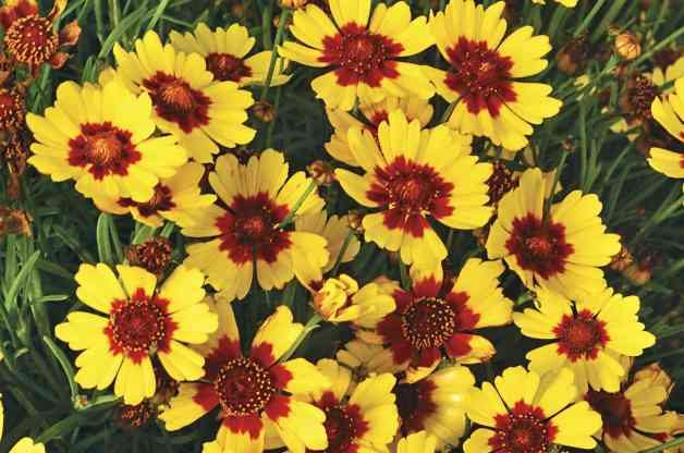 Pineapple Pie Coreopsis