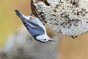 Nuthatches, Bird Acrobats