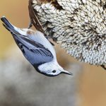 All About the Nuthatch Family: Bird Acrobats