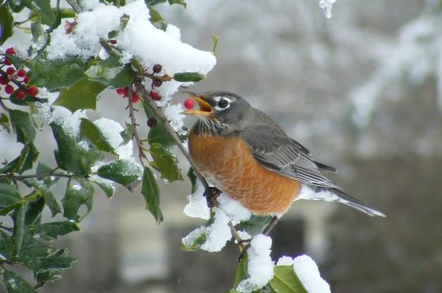 Robin Holly Berries