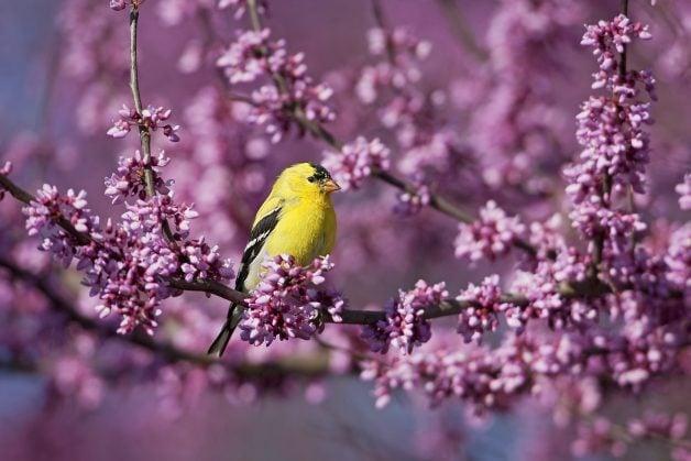 goldfinch spring birds