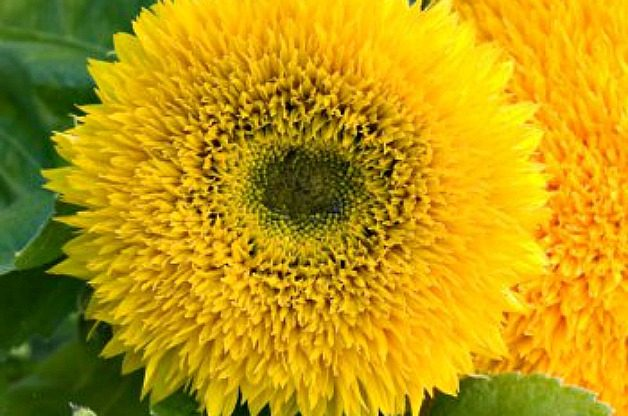 Sunflower (Helianthus), Annual