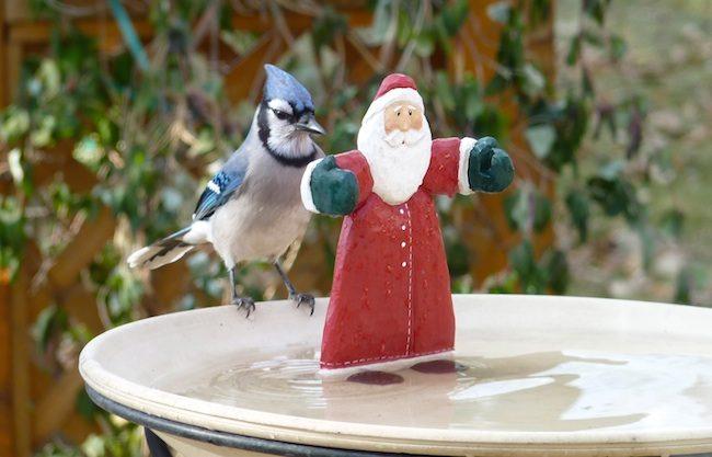 Blue Jay Meets Santa