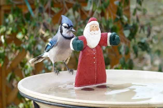 Friday Fun Photo: Blue Jay Meets Santa