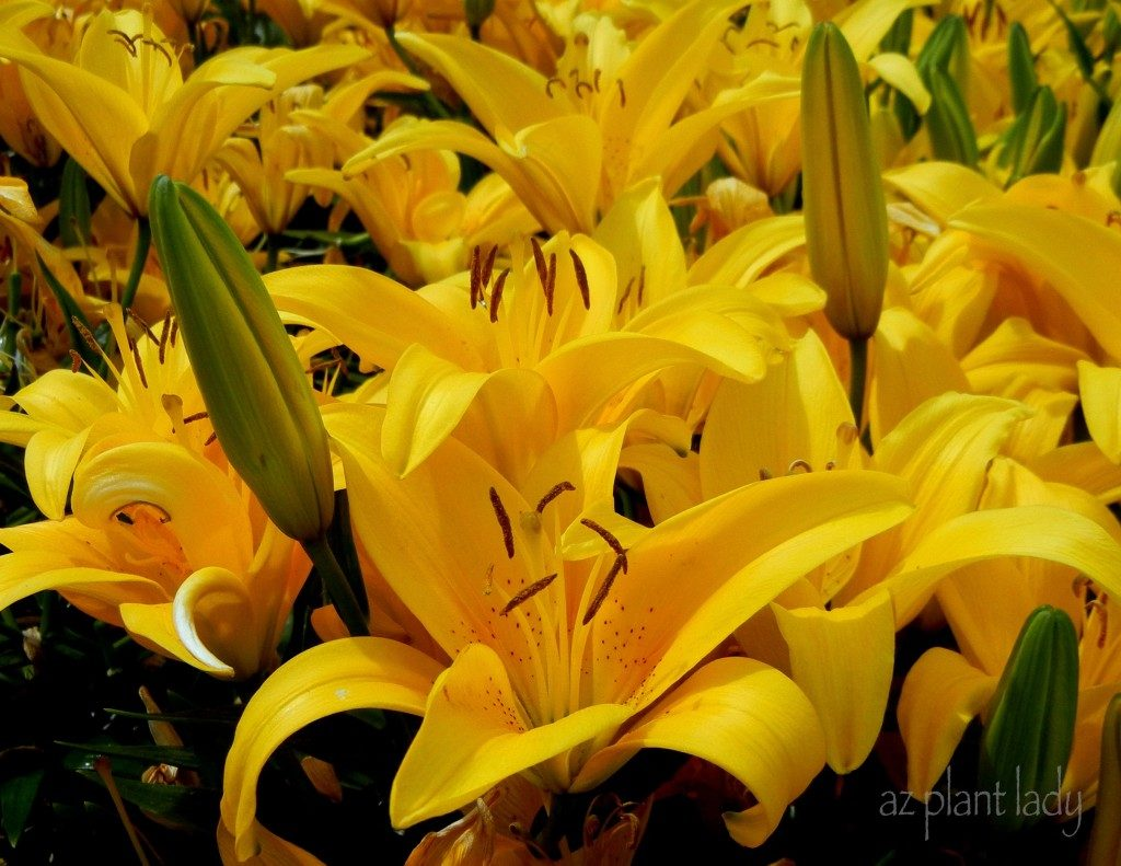 Brightly colored flowers to warm a cold winters day birds and blooms once you view the flowers of sun loving daylilies hemerocallis species it is easy to understand why this is widely planted throughout gardens in zones 4 mightylinksfo