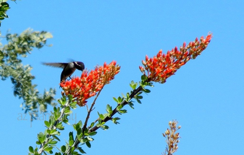 Hummingbird and Ocotillo flower