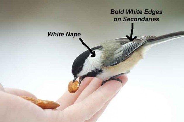 Birding Basics Chickadee Identification